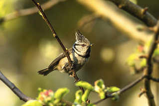 European crested tit - Male brings food for female. 2
