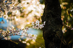 Sakura (moaan) Tags: kobe hyogo japan jp cherryblossom cherrytree trunk branch blossoms blossoming inbloom bokeh dof utata 2017 leica mp leicamp type240 noctilux 50mm f10 leicanoctilux50mmf10