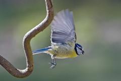 D97A5609 (yapaphotos) Tags: mésange bleue cyanistes caeruleus eurasian blue tit eurasianbluetit herrerillocomún chapimazul blaumeise kékcinege лазоревка 青山雀 pimpelmees cinciarellaeuropea blåmes blåmeis modraszkazwyczajna sýkorkabelasá sýkoramodřinka blåmejse sinitiainen アオガラ