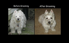 """What a Difference a Visit to the Groomer Makes"" (ellenc995) Tags: riley coth westie grooming westhighlandwhiteterrier fantasticnature alittlebeauty thegalaxy challengeclub supershot coth5 rubyphotographer abigfave pet100 100commentgroup ruby3 pet500 thesuperbmasterpiece pet1000 pet1500"