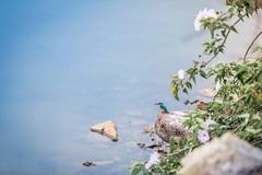 Out for breakfast (Akhil G) Tags: nature india karnataka lake turuvekere kingfisher bird canon