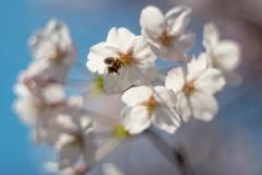 _DSC4220a (kymarto) Tags: bokeh bokehlicious bokehphotography flower flowerphotography nature naturephotography nikon nikonphotography nikond800 oldlens vintagelens dof depthoffield cherryblossoms seasons spring hanami sakura beauty beautiful insect bee japan dallmeyer supersix
