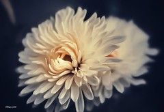 Soft & Serene! (traptiantiwary) Tags: flowers dahlia gardenflowers nature canon canoneos
