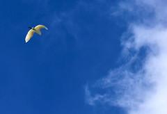 COME BACK TO ME ... (Aspenbreeze) Tags: snowyegret egret wildbird birdinflight flight clouds sky whitebird wildlife migration coloradomigratorybirds nature bevzuerlein aspenbreeze moonandbackphotography