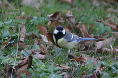 Great Tit - Parus major - Stockholm, Sweden - April 3, 2017 (mango verde) Tags: greattit parusmajor paridae chickadeesandtits parus major bird stockholm sweden