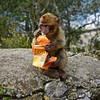 Thief (nicvictor) Tags: barbaryape wildlife naturereserve gibraltar upperrock animal babyape