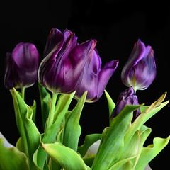 Tulips (Creative_Light_Photography) Tags: strobist flowers tulips tulip nikon d800 macro paul c buff huntsville tabletop tabletopphotography black dark moody