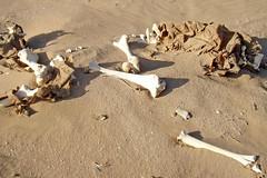 Brevity of Life (Bergfex_Tirol) Tags: bergfex marokko morocco desert sahara bone