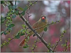 Femal Cardinal (Snapshots by JD) Tags: cardinal westville female