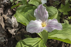 Trillium grandiflorum, Blue Spring Railroad Grade, White County, Tennessee 3 (Chuck Sutherland) Tags: trilliumgrandiflorum whitetrillium largefloweredtrillium greatwhitetrillium whitewakerobin trilleblanc white wildflower flower bluespring railroadgrade whitecounty tennessee tn pink