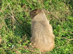 Capybara by the River (Skoda Girl) Tags: capybara escaped riverbank green wildlife north weald nature animal brown hairy