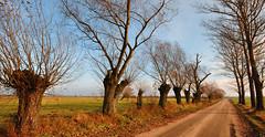 Countryside road (RafalZych) Tags: damiety damięty polska poland droga road countryside village country wierzba wierzby polish roadside willow weeping alley rosochata rosochate outdoor serene park tree plant d90 nikon sigma 1020 ex wide wideangle