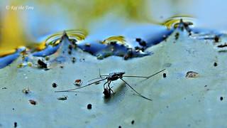 Strider Strikes! Munching on Mosquito!