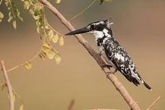 Pied kingfisher (xarneymx) Tags: bird kingfisher gambia blackandwhite africa piedkingfisher