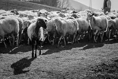 Volersi distinguere (.nyko) Tags: amici caccia pecora nera bianconero nikon df campagna gregge