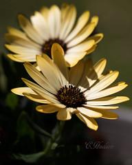 2017 03 26_8672_edited1 (mustangsallyredgt) Tags: africandaisy yellowflower