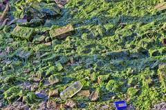 bassa marea a Venezia (gianmaria.colognese) Tags: bottiglia spazzatura rifiuti alghe bassamarea plastica verde green texture