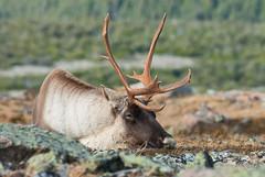 Caribou endormi (Liberté55) Tags: faune parcdelagaspésie gaspésie caribou montjacquescartier