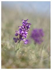 Orchis bouffon - Anacamptis morio (isabelle.bienfait) Tags: orchis orchisbouffon anacamptismorio orchidée fleur flower nikond7200 sigma105 ambiance bétahon morbihan isabellebienfait printemps spring