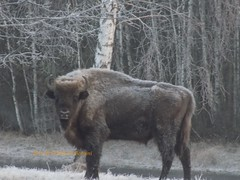 Bisonte Europero a Bialowieza