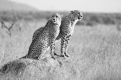 Two cheetahs (knud.hald) Tags: blackrhinolodge knudhald limpopo outdoor pilanesberg pilanesbergsouthafrica2017 safari southafrica wildlife albatrostravel canonef400mmf56lusm canon6d canon cheetahs cheetah blackandwhite nikpresets niksilverefexpro allthebest