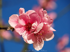 Beautiful peach blossom, first spring bloom. (Alejandro Hernández Valbuena) Tags: nature selective life seasonal border outside background flora soft art card pink floral fruit growth natural tree flower branch season abstract beauty sunny backdrop springtime day blossom spring beautiful blooming wallpaper design plant garden shallow dreamy fine depth outdoor bloom focus fresh closeup light petal peach