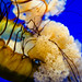 Pacific sea nettle 21 - National Aquarium