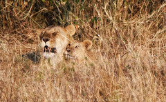 Relaxing in the grass (simonjmarlan) Tags: lions serengeti africa wildlife cute cats