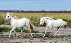 2016 Best Two Camargue Stallions (14) (maskirovka77) Tags: saintlaurentdaigouze languedocroussillonmidipyrén france languedocroussillonmidipyrénées fr stallion stallions createaway