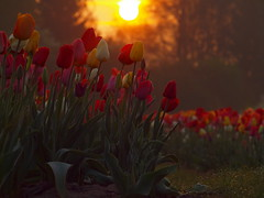 TULIPS IN SUNLIGHT APRIL 2017 P4085055 (hans 1960) Tags: tulips tulpen outdoor natur nature farben colours sun sunrise sonne sonnenaufgang sol soleil atardecer flower fleurs bunt colourful gras tropfen april samstag samedy sturday spring printemps frühling primavera germany