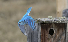 Bluebird (M) (Peter Stahl Photography) Tags: bluebird springarrival march male blue nest