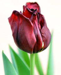 Dark Red Tulip in all its glory (Alona Azaria) Tags: tulip dutch red darkred green flower bloem fiore
