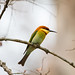 Chestnut-headed bee-eater (Merops leschenaulti), Kaziranga National Park, Assam, India