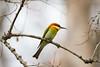 Chestnut-Headed Bee-Eater (GregoireDubois) Tags: 2017 india kaziranga nationalpark unescoworldheritage kaziranganationalpark meropsleschenaulti chestnutheadedbeeeater