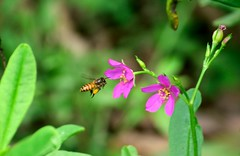 World of bee (sreejithkallethu) Tags: bee nature naturephotography neeravil kollam kerala flowers