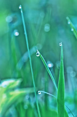 fresh grass and water drop (♥Oxygen♥) Tags: grass rain closeup wet wallpaper decoration meadow condensation foliage droplet natural grow greenery green spring lawn dewy growing morning grassland vegetation macro grassy flora healthy drop backdrop texture reflection garden vitality close growth plant transparent background greenness fresh water raindrop nature dew environment detail pattern textured bokeh freshness