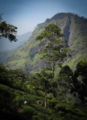 Little Adams peak, Sri Lanka (sarah_holls) Tags: hiking littleadamspeak mountainview views teaplantation teapickers srilanka ella