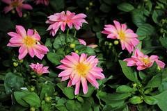 Dazzling Dahlias (JulieK (enjoying Spring in Co. Wexford)) Tags: dahlia 100flowers2017 pink canoneos100d wexford gardencentre woodiesdiy colourful plant ireland irish