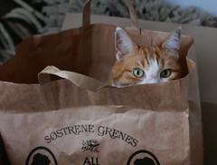 Recycling (louise peters) Tags: cat kat poes pollux draagtas papier paperbag recycle hergebruik eyes ogen kattenogen red rood