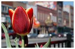 Eleven years ago today. (Jill Bazeley) Tags: tulip flower flor downtown nashville tennessee broadway nikon d70 urban nature botanical