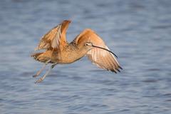 Flyby (gseloff) Tags: longbilledcurlew bird flight bif wildlife bolivarflatsshorebirdsanctuary galvestoncounty texas gseloff