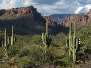 Giant Saguaros and the Sierra Ancha Gnarlyscape