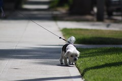 Mickey! (O.M. Photography) Tags: walkingdog dogwalker maltese canon dslr canonrebel dawg doggie dogs dog