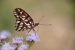 Moneta (Mexican Silverspot) (EXPLORED) (catoledo) Tags: 2017 coarecs monetamexicansilverspotdionemoneta reservaecológicacostanerasur wildlifepreserve birding butterflies