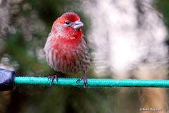 Male House Finch (Anne Ahearne) Tags: housefinch house finch bird birds nature wildlife animal bokeh red