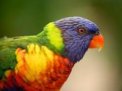 painted lorikeet (peet-astn) Tags: parrot southafrica johannesburg birdgardens montecasino paintedlorikeet lorikeet