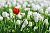 Red Love through the Whites (NATIONAL SUGRAPHIC) Tags: internationalpeacepark türkiye yenitürkiye newturkei turkei naturephotography doğafotoğrafçılığı mothernature annedoğa fairytales istanbul tulips laleler türkiyeninlaleleri tulipsofturkei tulipland flowers çiçekler ayhançakar nationalsugraphic sugraphic uluslararasıbarışparkı zeytinburnu yedikule yedikulesoğanlıbitkiparkı