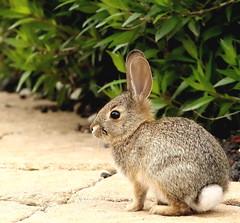Little Bunny (C-O) Tags: apr 09006 arboretum easter bunny nature arcadia ca