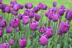 Purple Tulips (Keith Mac Uidhir 김채윤 (Thanks for 4m views)) Tags: sofia bulgaria sofiya софия българия bǎlgariya bulgarye بلغاريا bulharsko bulgarie bulgarien βουλγαρία 불가리아 बुल्गारिया bulgária бугарија بلغارستان bulgarije ブルガリア bułgaria болгария бугарска bulgaristan ประเทศบัลแกเรีย 保加利亚 sofía szófia sofya sófia صوفيا صوفیه 소피아 सोफिया ソフィア โซเฟีย 索菲亞
