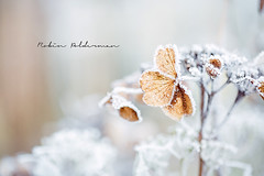 Winter wonderland (Pamba-) Tags: winter nature ice frost beautiful netherlands cold icecold canon5dmarkiii canon heartshaped heart leaf frosty